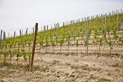 Barbera vineyard - Italy Stock Photos