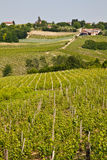 Barbera vineyard - Italy Royalty Free Stock Photography