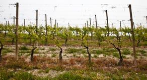Barbera vineyard - Italy Stock Photo