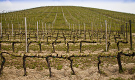 Barbera vineyard - Italy Stock Photos