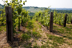 Barbera vineyard - Italy Stock Image