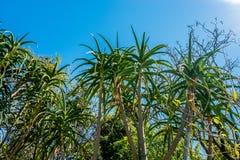 Barberae dell'aloe nel giorno di estate soleggiato con le foglie verdi Immagine Stock