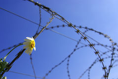 Barberd Wire and Flower. Barbed wire with a stuck single flower against blue sky Royalty Free Stock Image