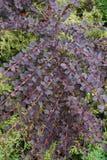 Barberis Berberis thunberg red form in the foothills of the Cauc. Barberis Berberis thunberg red form with twigs and leaves in the foothills of the Caucasus stock image