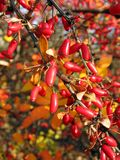 Barberries (Berberis vulgaries) Royalty Free Stock Photo