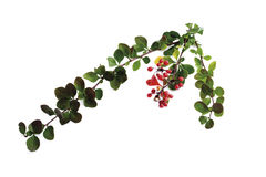 Barberries (Berberis vulgaris), close-up Stock Photo