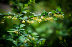 Barberries blossom. Barberries bushes blossoming in the garden-rainy day Stock Photo