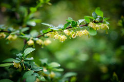 Barberries blossom. Barberries bushes blossoming in the garden-rainy day Royalty Free Stock Images