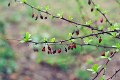 Barberries dry fruits. On branches in the rain Stock Photo