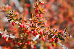 Barberries shrubs with fruits Royalty Free Stock Images
