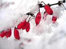 Barberries in the snow Royalty Free Stock Photos