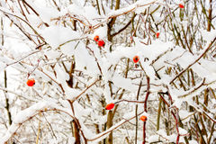 Barberries in the snow Royalty Free Stock Image