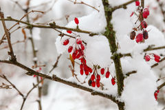 Barberries in the snow Stock Images