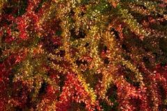 Barberry θάμνος, ζωηρόχρωμο floral κόκκινο υπόβαθρο Barberry μούρα στο θάμνο στην εποχή φθινοπώρου, ρηχή εστίαση Πάρκο φθινοπώρου στοκ εικόνες με δικαίωμα ελεύθερης χρήσης