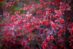 Barberry θάμνος, ζωηρόχρωμο floral κόκκινο υπόβαθρο Barberry μούρα στο θάμνο στην εποχή φθινοπώρου, ρηχή εστίαση Πάρκο φθινοπώρου στοκ εικόνα με δικαίωμα ελεύθερης χρήσης