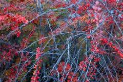 Barberry θάμνος, ζωηρόχρωμο floral κόκκινο υπόβαθρο Barberry μούρα στο θάμνο στην εποχή φθινοπώρου, ρηχή εστίαση Πάρκο φθινοπώρου στοκ φωτογραφίες