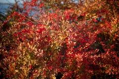 Barberry θάμνος, ζωηρόχρωμο floral κόκκινο υπόβαθρο Barberry μούρα στο θάμνο στην εποχή φθινοπώρου, ρηχή εστίαση Πάρκο φθινοπώρου στοκ εικόνα