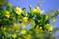 Barberry κίτρινα λουλούδια Στοκ Εικόνες