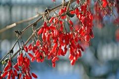 barberry κλάδος Στοκ Εικόνα