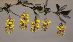 barberry κλάδος Στοκ Εικόνες