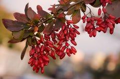 barberry κλαδίσκος Στοκ φωτογραφία με δικαίωμα ελεύθερης χρήσης