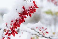 Barberry, πρώτο χιόνι Στοκ φωτογραφίες με δικαίωμα ελεύθερης χρήσης