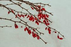Barberry στο χιόνι Στοκ φωτογραφίες με δικαίωμα ελεύθερης χρήσης