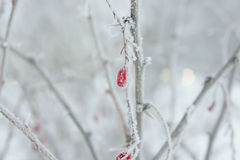 Barberry το χειμώνα παγετού Στοκ Εικόνες