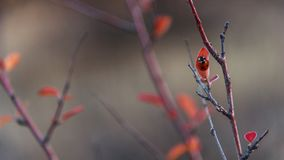 Barberry φθινοπώρου κλάδος με τα κόκκινα φύλλα και ladybug Στοκ εικόνες με δικαίωμα ελεύθερης χρήσης