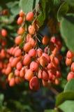 barberry royaltyfri fotografi