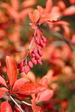 Barberry Royalty Free Stock Photography