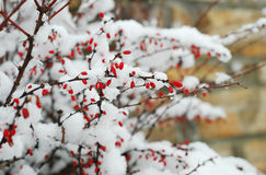Barberry Royalty Free Stock Image