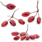 Barberry Stock Photography