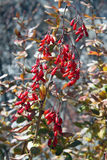 Barberry in autumn Royalty Free Stock Images