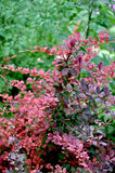 Barberry Berberis thunbergii 'Rose Glow'. Gorgeous colors of a Rose Glow Barberry shrub Stock Image