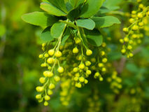 Barberry (Berberis vulgaris) Stock Photography