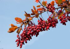 Barberry Berberis vulgaris branch with natural fresh ripe berries on blue sky background. royalty free stock photo