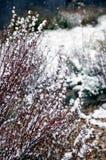 Barberry (Berberis vulgaris) shrub under first snow. Barberry (Berberis vulgaris) shrub in garden under first snow stock image