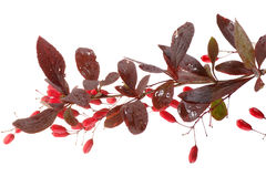 Barberry berries Stock Photo