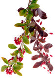 Barberry berries Stock Photos