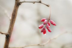 Barberry berries hang on a branch. On him droplets of water flow stock photos