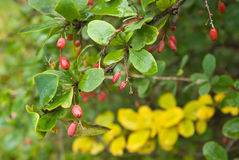 Barberry berries and leaves. After rain in cloudy day Royalty Free Stock Images