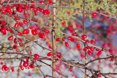 Barberry berries Stock Photography