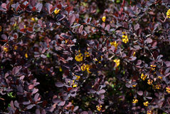 Barberry. Bloom in spring park, in the frame only the Stock Image