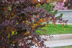 Barberry. Bloom in spring park lawn in the background Royalty Free Stock Photos