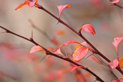 Barberry blur Royalty Free Stock Images