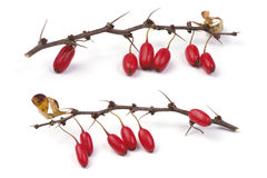 Barberry branch. Barberry (Berberis vulgaris) branch with ripe berries. Isolated on a white background stock images
