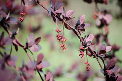 Barberry, branch of barberry with buds and bright purple leaves closeup on a colored background Berberys Thunberga, Berberis Thun Royalty Free Stock Photos