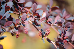 Barberry, branch of barberry with buds and bright purple leaves closeup on a colored background Berberys Thunberga, Berberis Thun Royalty Free Stock Photography