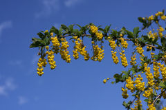 Barberry branch. With flowers on a background of blue sky Royalty Free Stock Images